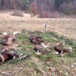 Pokot po polowaniu Wilcza