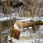 Bobry w obwodzie 341 (potok Piekiełko)-grudzień 2016